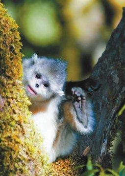 我国为滇金丝猴建立全境保护网络